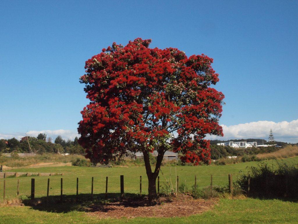 PC301141 pohutukawa ポフツカワ クリスマスツリー ニュージーランド 植物PC301141 pohutukawa ポフツカワ クリスマスツリー ニュージーランド 植物