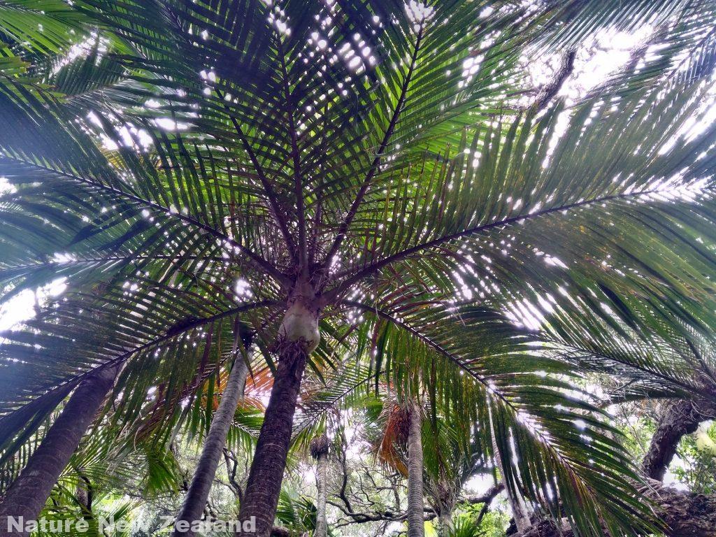 P_20161120_153128_HDR ニカウ ニュージーランド 植物 ヤシ