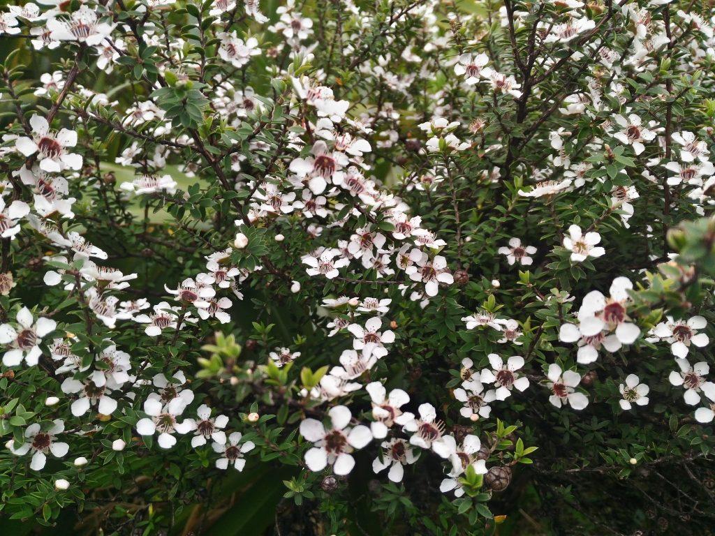 ニュージーランド 植物 マヌカ 花