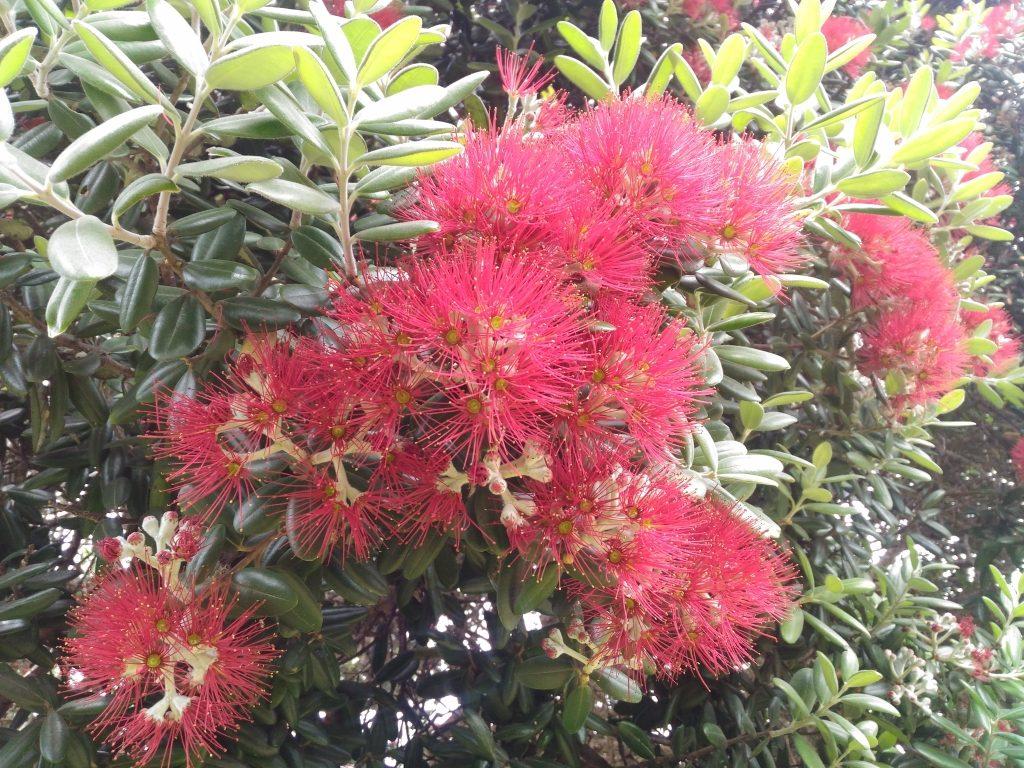 PC301141 pohutukawa ポフツカワ クリスマスツリー ニュージーランド 植物