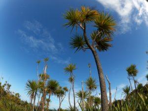 cabbage tree キャベッジツリー ニュージーランド 植物
