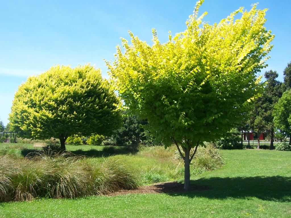 [NZ この植物は何だろう?] まぶしいくらいの若草色!ケヤキみたいな葉っぱの木はなんて名前?