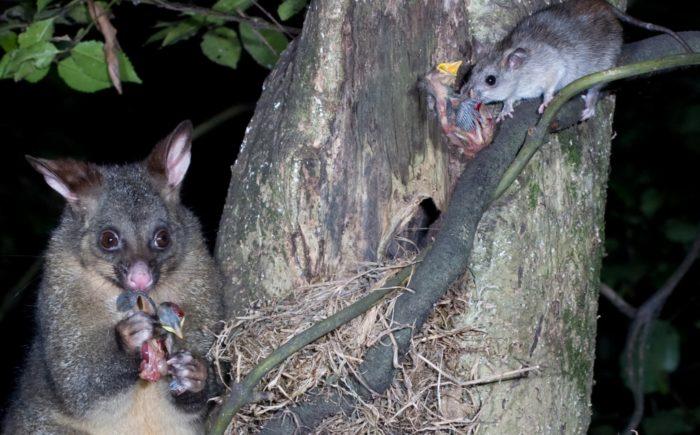 なぜニュージーランドは外来種を根絶しようとするのか?
