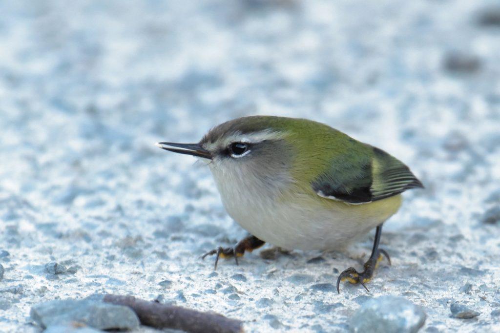 体重は一円玉2枚分!「世界最小の鳥」はこんなに小さい