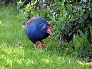 NZの飛べない鳥・タカへ(無断転載を禁止します)