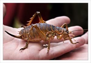 昆虫界のベビー級チャンピオン!!?世界最重量の昆虫「ジャイアント・ウェタ」に出会った!