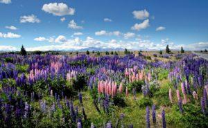 美しいルピナスの花が駆除の対象!?NZでルピナスが嫌われている理由とは。