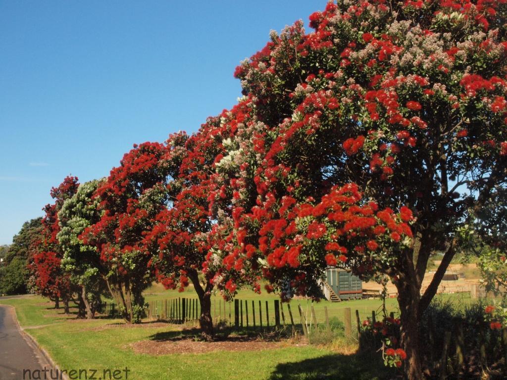 ニュージーランドのポフツカワ(クリスマスツリー)