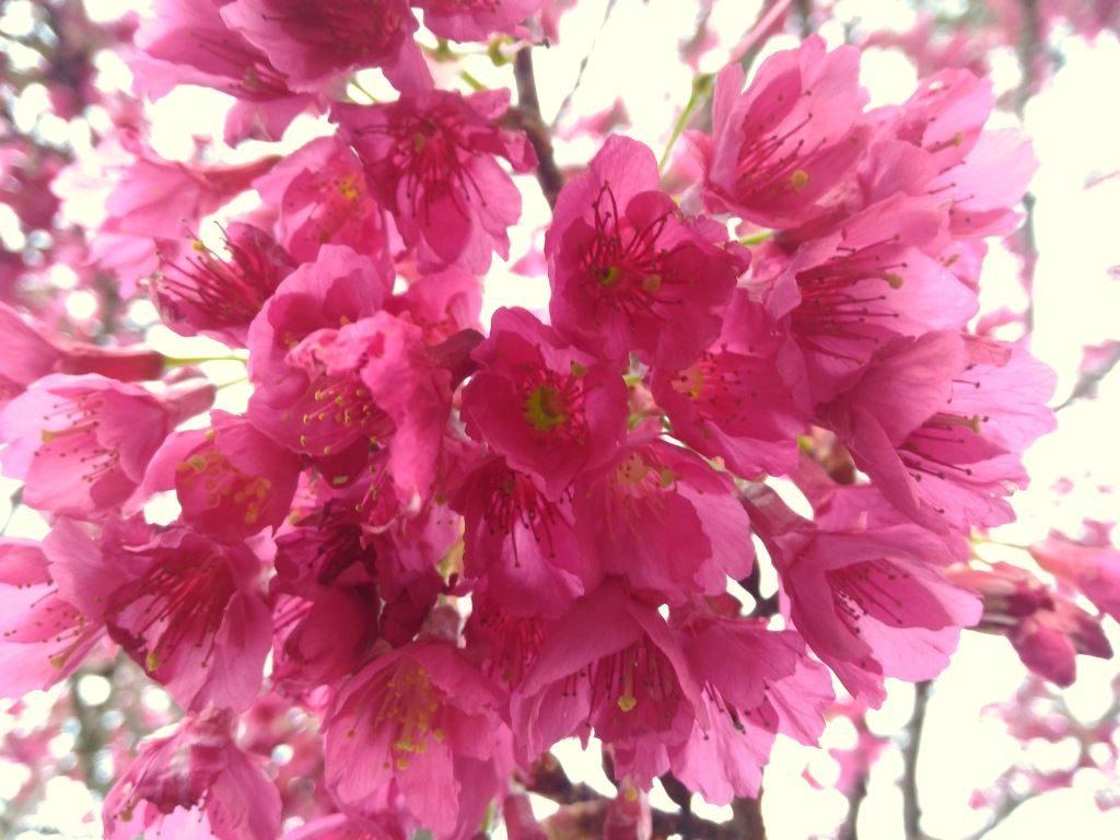 オークランドに春の兆し!台湾桜が咲き始めた@7月下旬