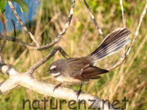 ひらひら、まるで蝶ちょみたい。愛らしいNZの野鳥「ファンテイル」
