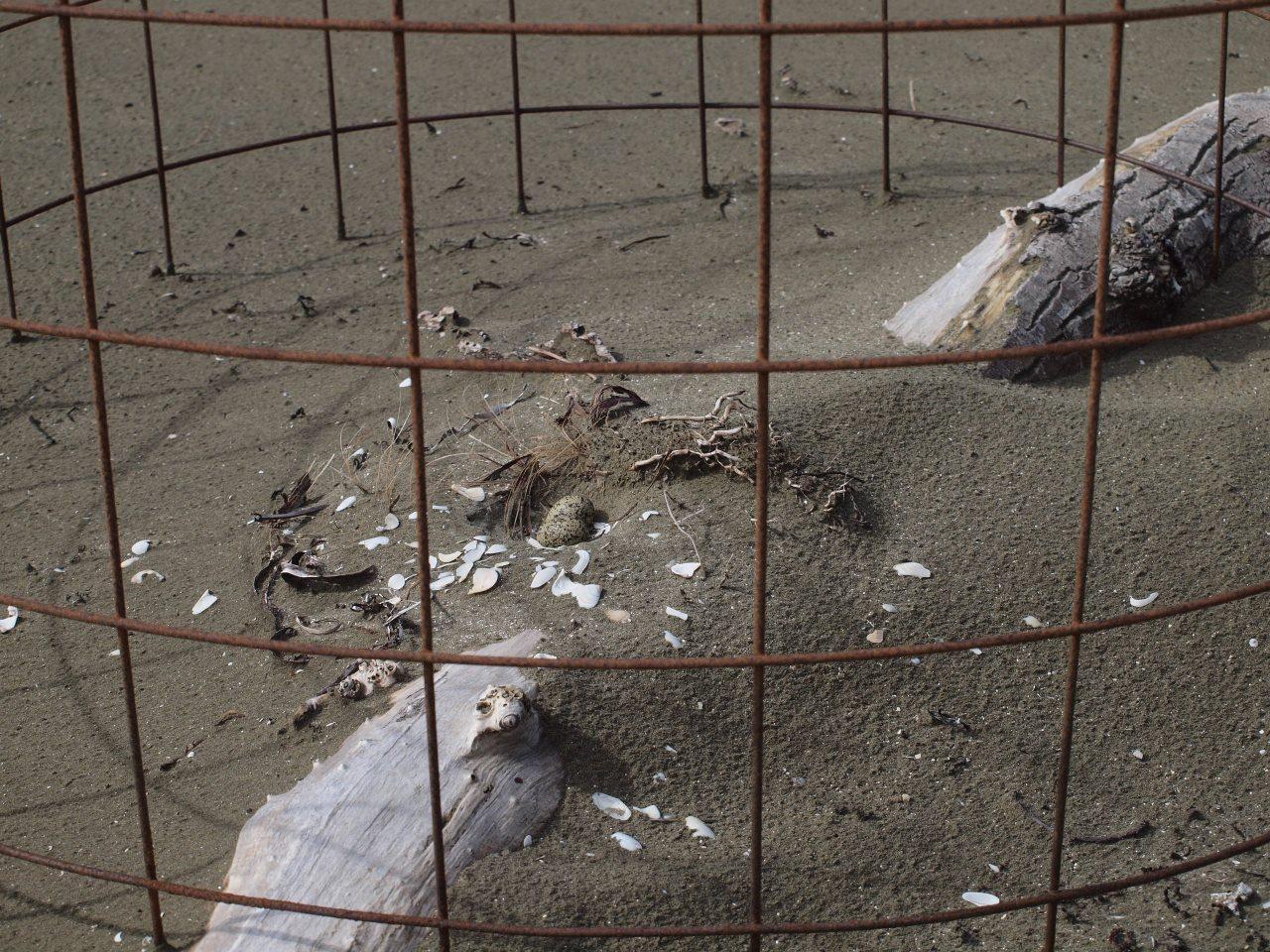 ニュージーランド・チドリの卵。これまた砂の色と瓜二つで見つけるのはかなり困難。
