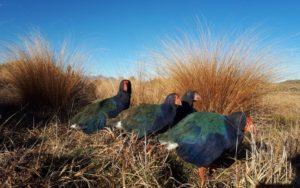 NZ本島への放鳥も。ニュージーランドの飛べない鳥「タカへ」生息数が上昇中!