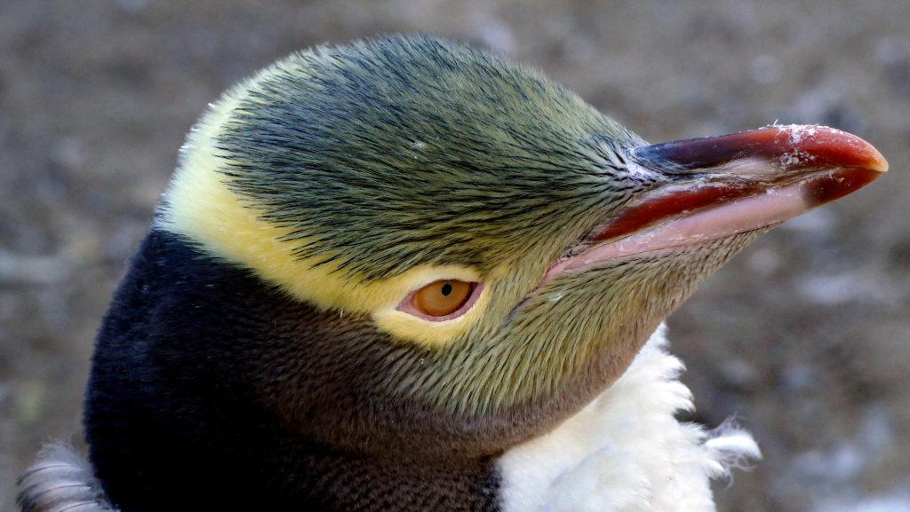 無料で野生のイエローアイド(キガシラ)ペンギンが見れるスポット5選