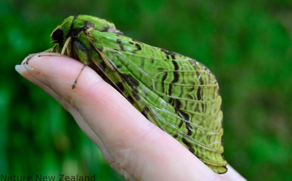 48時間の儚い命。NZ最大の蛾「プリリ・モス」を探しに、夜の森へ・・