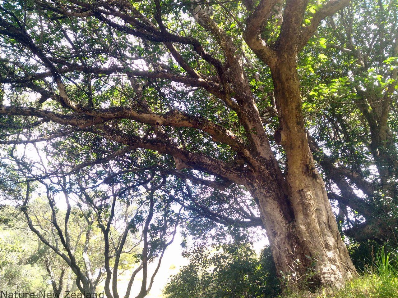 NZ固有の木Puriir