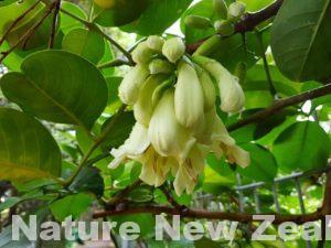 残り一株から復活した奇跡のお花。冬のNZを彩る「テコマンス」を見てみよう!