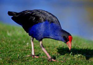 赤い嘴に青い羽。ニュージーランドの鳥「プケコ」の面白い小話7選