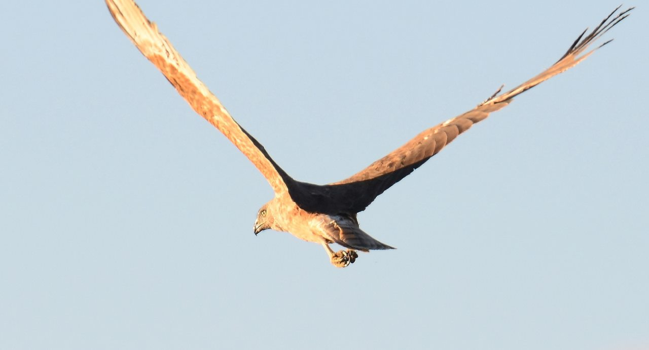 オーストレイジアン・ハリアー(チュウヒ)はVの字型に飛ぶ by Flicker