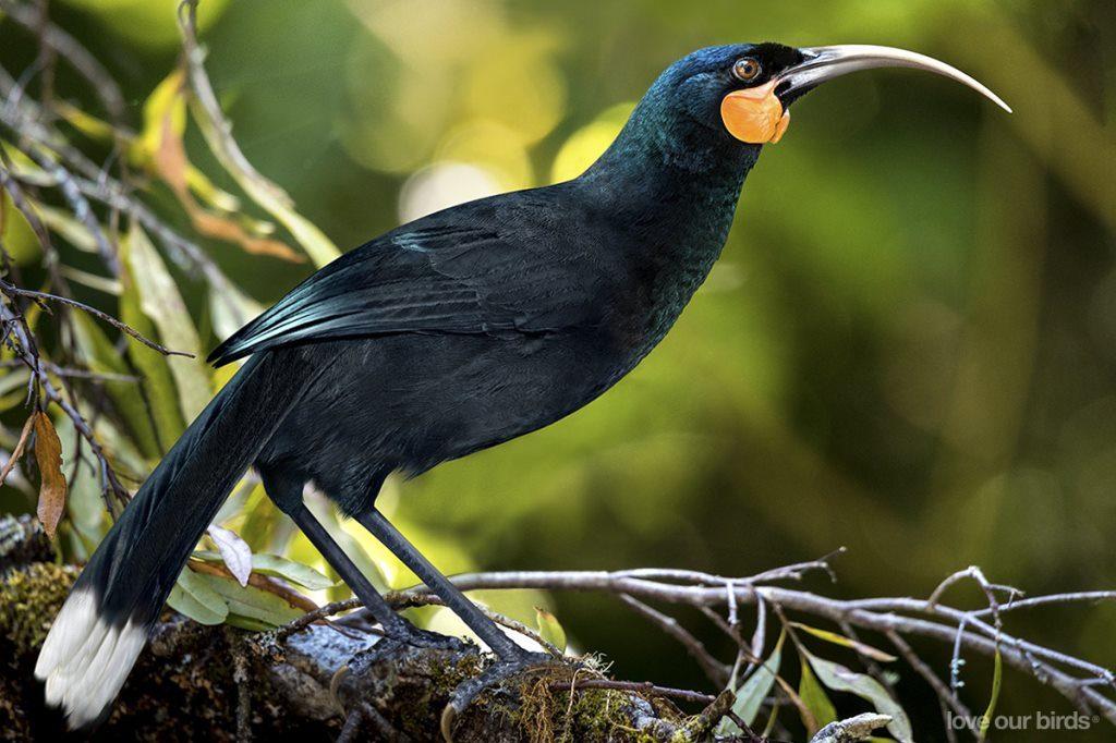オスとメスでまったく違うクチバシを持つ鳥「フイア」。彼らが絶滅に追い込まれた理由とは・・