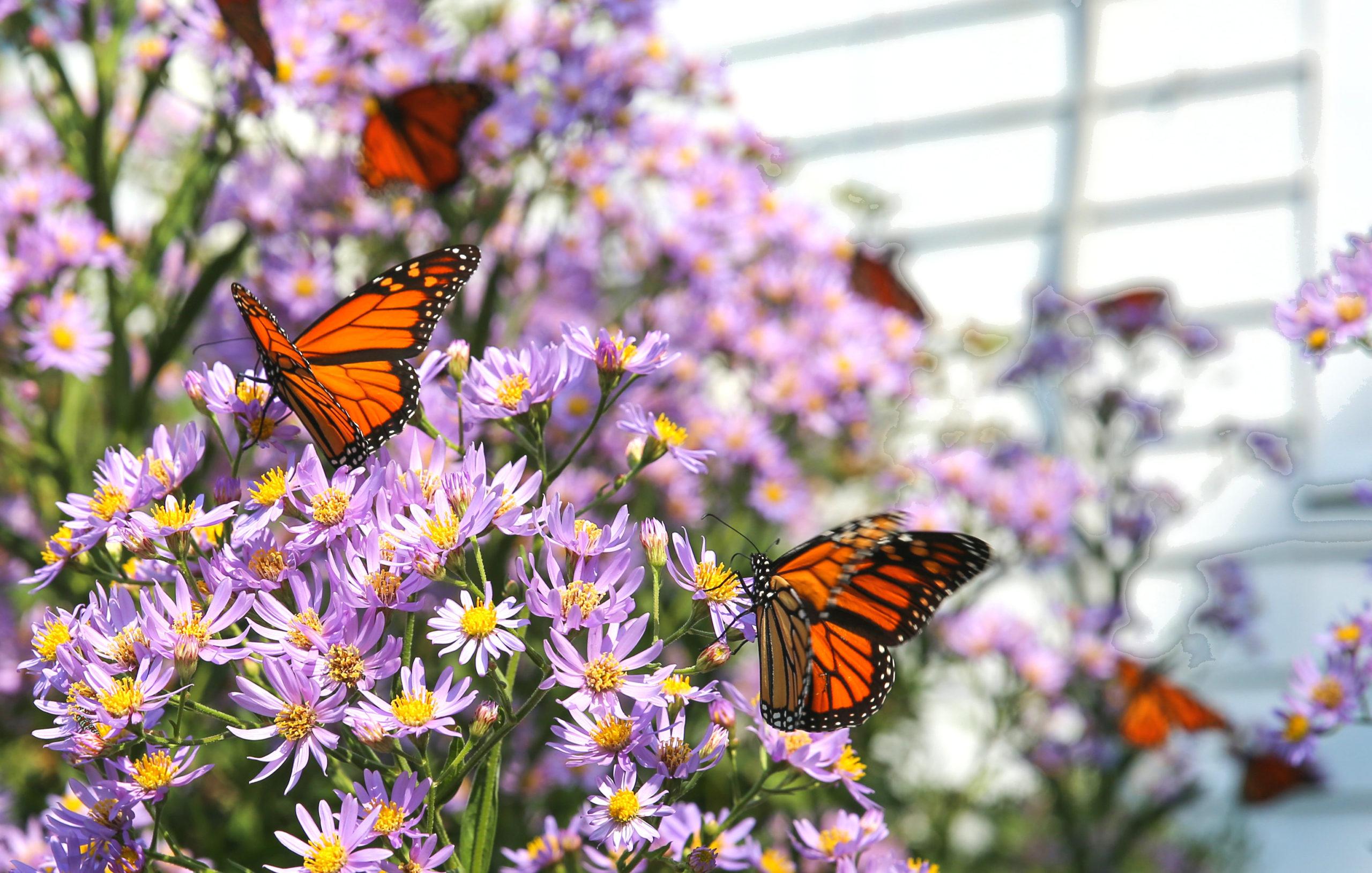 NZ最大の蝶・オオカバマダラが激減中!?原因はいったい何?