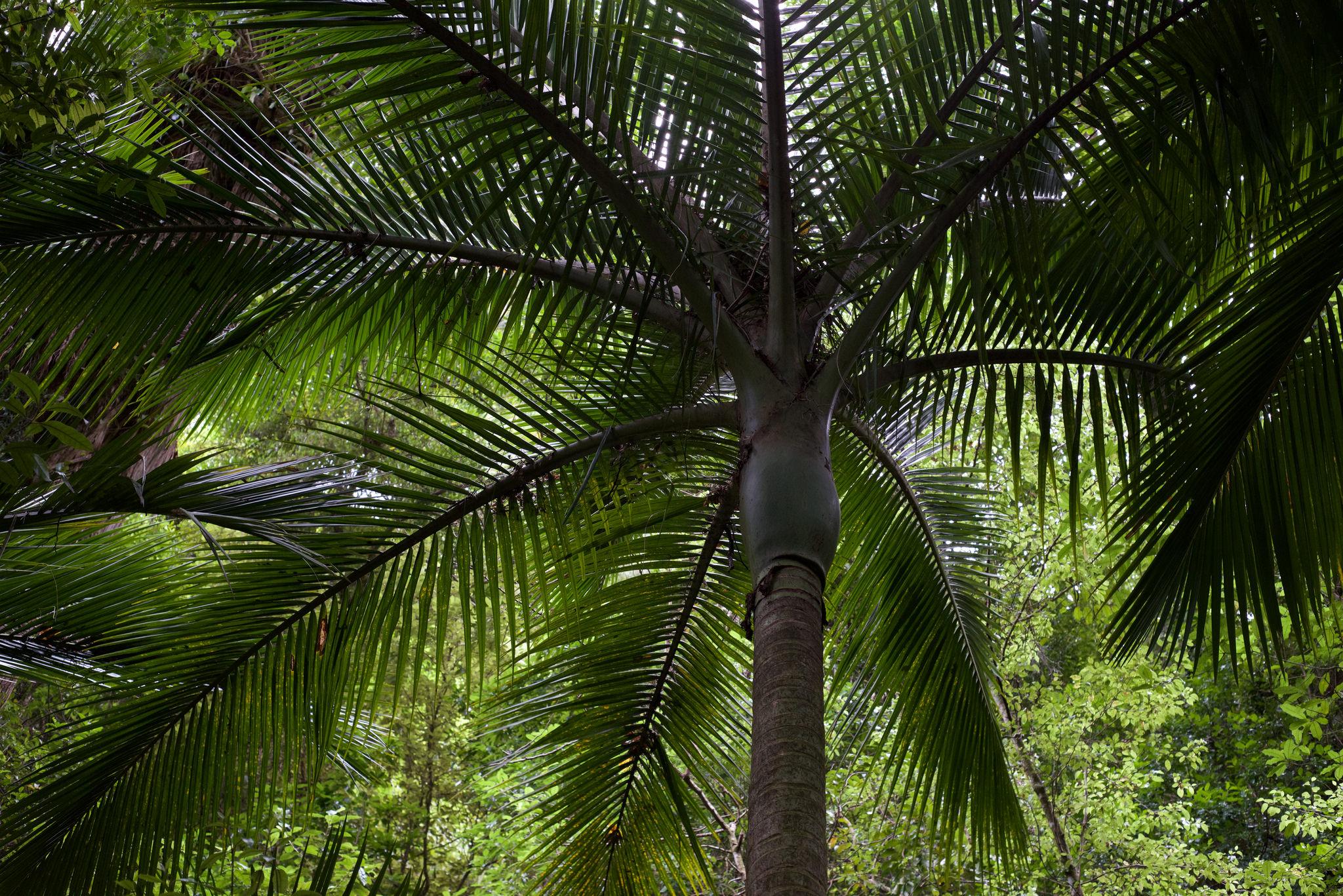 ニュージーランドのヤシの木「ニカウ」。発見したマオリ族がガッカリした理由とは?