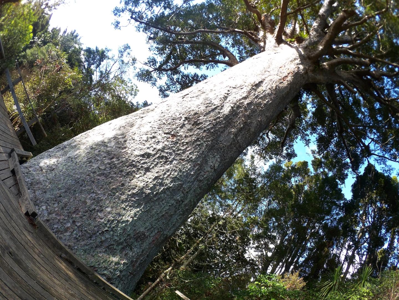 樹齢800年のカウリの巨木!ワークワース博物館とパリ―・カウリ・トラック