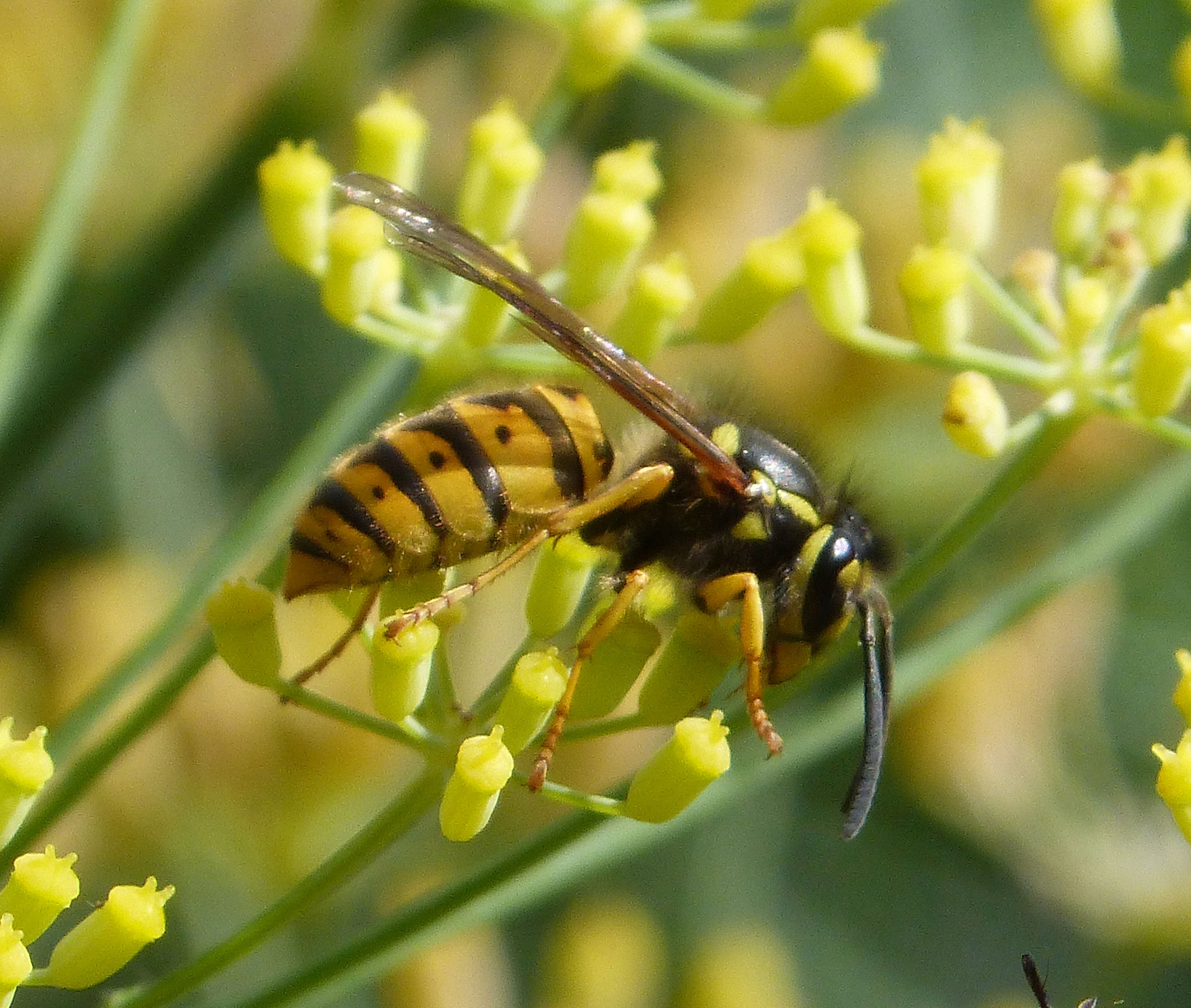 Q&A ニュージーランドにスズメバチのような危ない蜂はいますか?