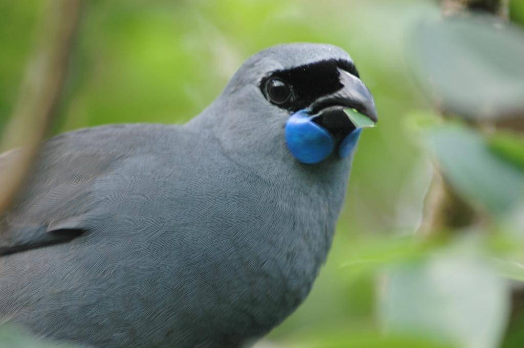 癒しのメロディー。ニュージーランドの美しい鳴き声の鳥ベスト5