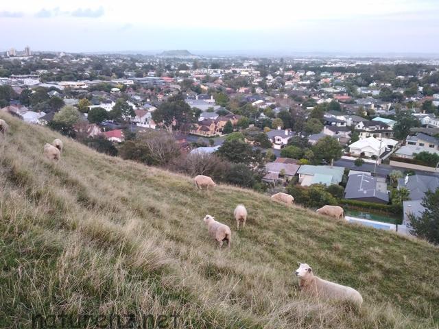 """こんな街中で羊の放牧!?オークランド近郊の""""穴場""""スポット『Mount St John Domain』でのんびり観光"""