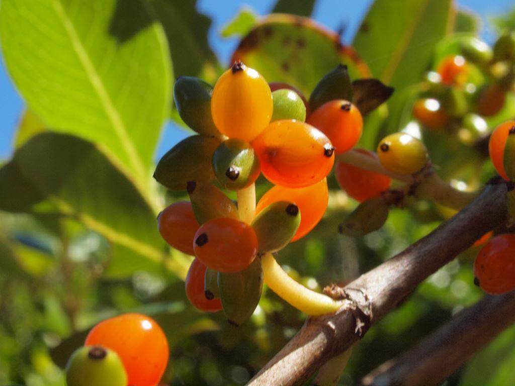 どうしてニュージーランドの木の実は赤い?その納得の理由とは。