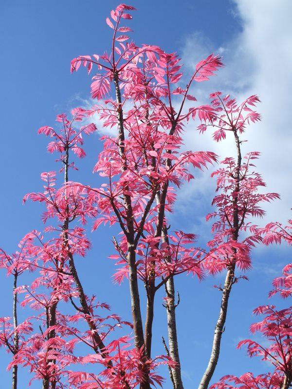 春先のNZで見かける、ピンクの葉がキレイな木はなんて名前??