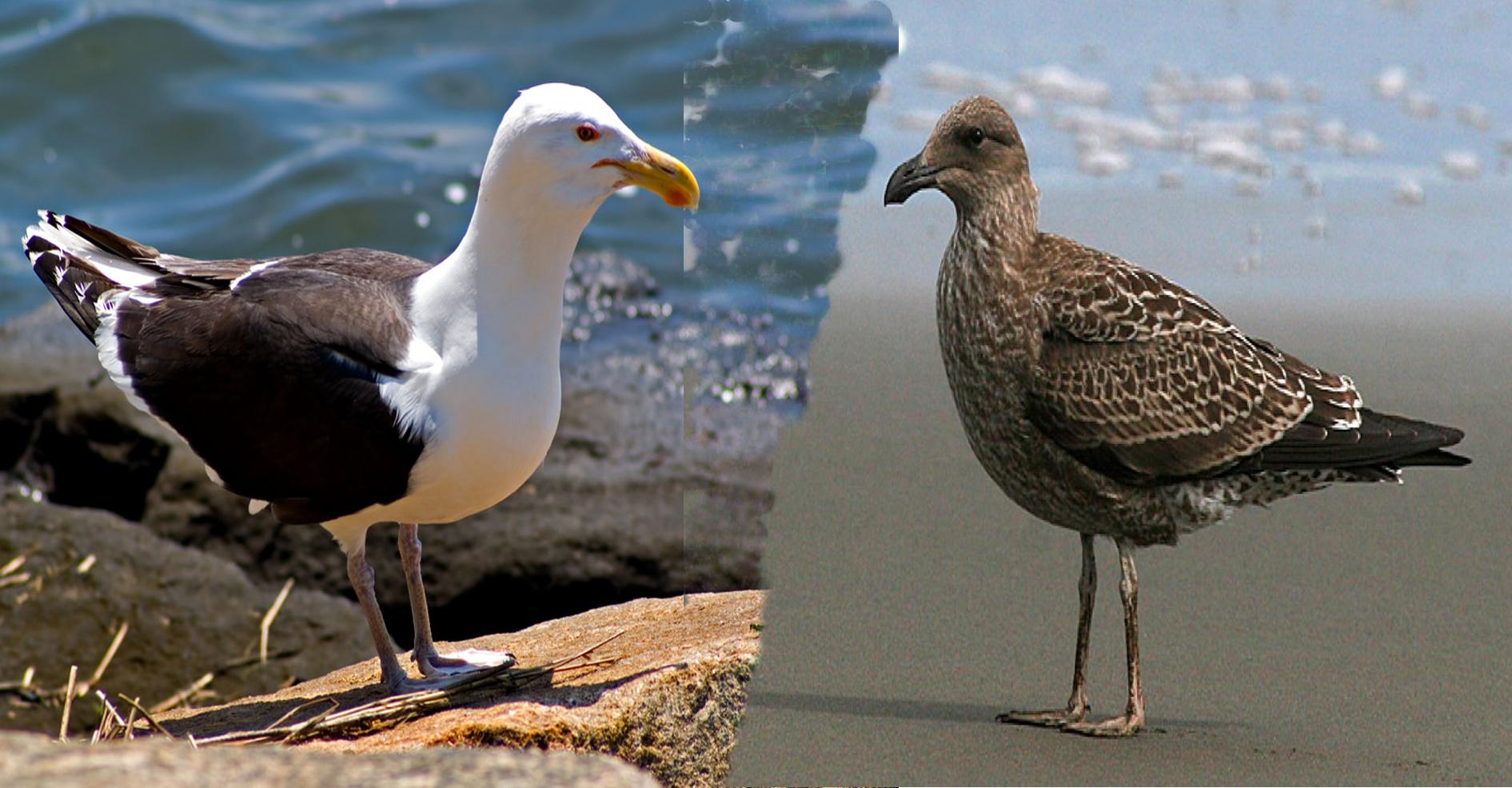black-backed gullの大人と幼鳥。こんなに違う!