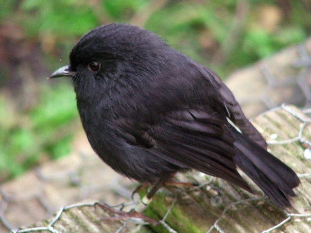世界に残った、たった5羽のブラック・ロビン。一種の鳥を絶滅から救った「オールドブルー」の物語