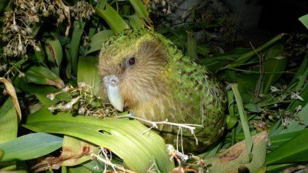 チャンスは数年に一度!ニュージーランドの飛べないオウム『カカポ』に会いに行ってきた!